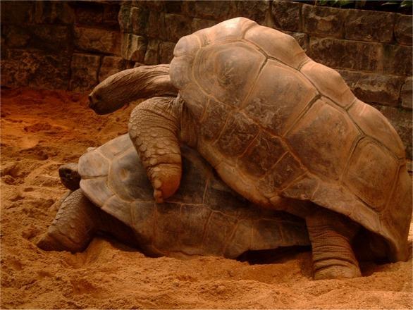 How turtles make love